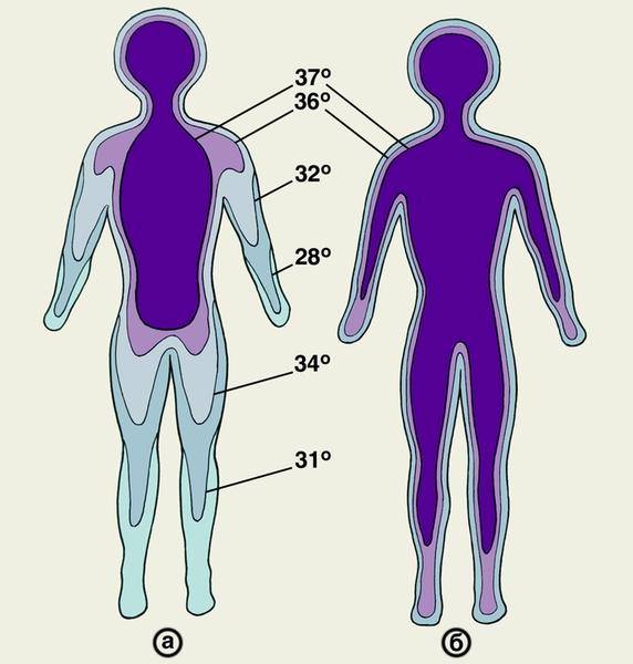 Рис. 7. Температура различных областей тела человека в условиях холода (а) и тепла (б). Заштрихованная область – «ядро» тела.
